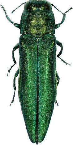 emerald ash borer: a wood-boring beetle accidentally introduced to N. America from eastern Asia via solid wood packing material in the late 1980s to early 1990s; it has killed tens of millions of trees in 15 states in the US and adjacent Ontario; it threatens some 7 billion ash trees in N. America