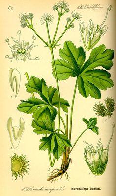 Flora von Deutschland Österreich und der Schweiz (1885). Sanicula europaea