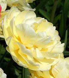 Tulip 'Verona'