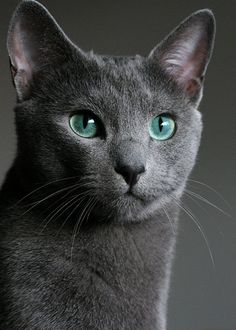 Amazing history of cat breed - Russian Blue. Diseases of Russian Blue. Beautiful Cats, Animals Beautiful, Cute Animals, Simply Beautiful, Animals Images, Blue Cats, Grey Cats, Regard Animal, Hypoallergenic Cats