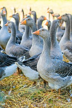 Blue Perigord Geese:
