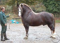 a handsome Breton horse