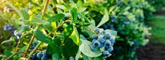 How to Grow Blueberries www.halifaxseed.ca