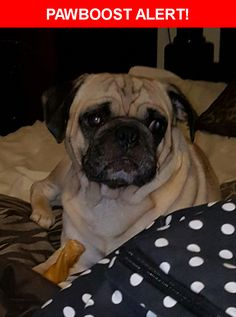Please spread the word! Buster #2 was last seen in Pasadena, TX 77502.  Description: Neutered fawn pug, on daily meds  Nearest Address: Cherrybrook