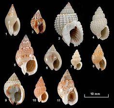 Family Nassariidae 1. Cyllene lactea 2. Nassarius burchardi 3. Nassarius conoidalis 4. Nassarius ephamillus 5. Nassarius glans particeps 6. Nassarius jonasii 7. Nassarius mobilis 8. Nassarius nigellus 9. Nassarius pauperatus 10. Nassarius pauperus 11. Nassarius spiratus