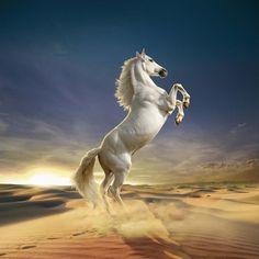Frank Neidhardt's Animated Animals - Animal photography Beautiful Arabian Horses, Most Beautiful Horses, Animals Beautiful, Cute Horses, Pretty Horses, Horse Photos, Horse Pictures, Funny Animals, Cute Animals