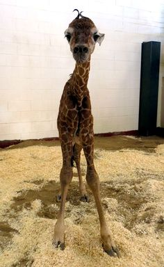 giraffe - just twenty minutes after his birth, this five-foot,  four-inch calf was already walking about on four spindly legs
