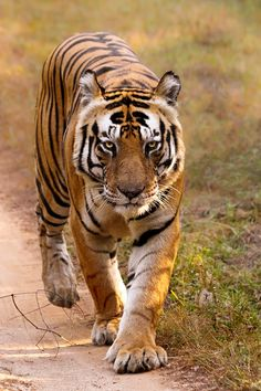 The Bengal Tiger is the national symbol of India. He looks hungry - think I'll keep moving