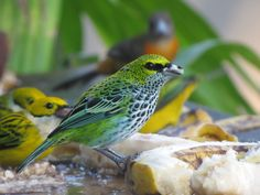 speckled tanager - Costa Rica