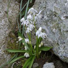 Scilla siberica Alba ist die weiße Variante des Blausterns. Die robuste Gartenpflanze wird im Herbst als Blumenzwiebel gepflanzt. Wenn sie sich wohlfühlt, blüht sie jedes Frühjahr erneut. Online erhältlich bei www.fluwel.de