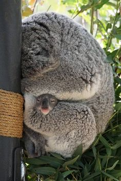 — Can I come out now? Koala joey by Cyn Reynolds