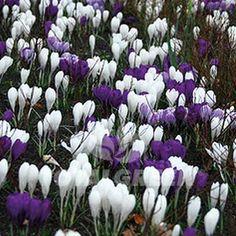 #Crocus #Flowerbulbs #Landscaping #Gardening #Flowerbeds #Trend #Landscape #Flowers #Colors #Colorful #Bulbs #Garden #SpringGarden #Spring #FallPlanting