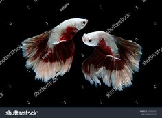 Beautiful movement of 2 Siamese Fighting Fish (Halfmoon Betta) on a black background.