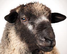 Ewe Sheep, Baa Baa Black Sheep, Sheep Farm, Sheep And Lamb, Romney Sheep, Modern Farmer, Barnyard Animals, Backyard Farming, Down On The Farm
