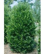 Emerald King™ Carolina Cherry Laurel (Prunus caroliniana 'Compacta 2') - Monrovia - Emerald King™ Carolina Cherry Laurel (Prunus caroliniana 'Compacta 2')