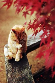 orange cat in autumn. Have a cat just like this.
