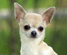 Looks like my chihuahua Mia Cute Chihuahua, Chihuahua Puppies, Chihuahuas, Dog Boarding, Labradoodle, Dog Quotes, Dog Pictures, Small Dogs, Cute Animals