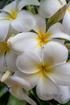 """Singapore Plumeria close up"" ~ by Debra L Newbery on flickr"