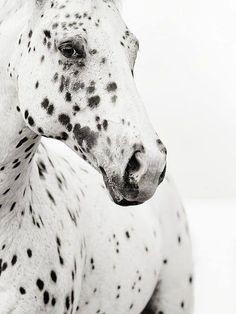 I love leopard skin appaloosas