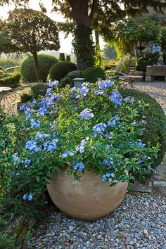 """Plumbago - Part shade plant. Blooms July-September in dark blue. 12-18"""" in height. Leaves turn bronze-red in the fall. Is a ground cover."""