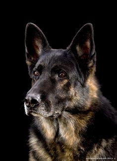 German Shepherd Dog www.signaturepawspetportraiture.com