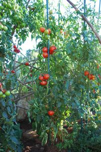 Some great advice for growing tomatoes organically, picking the right variety, etc. | Heirloom Tomato Variety–'Carmello'