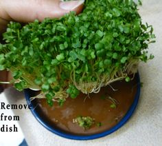 Too Easy - How To Grow & Harvest Chia Sprouts.  Website States This Method Is Also Applicable To Arugula, Cress, Mizuna & Radish
