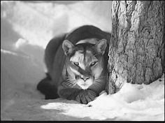 Mountain Lion in Snow - visiting our grandkids in Idaho one of these majestic cats was seen in the greenbelt downtown Boise...my oh my