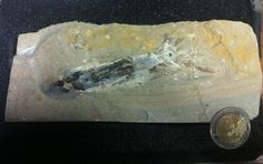 Twitter / NHM_Cephalopoda: #FossilFriday today is a ...
