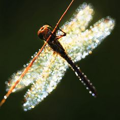 Glistening Dragonfly. The eternal love of our souls.