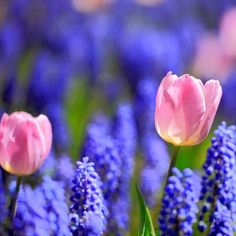 grape hyacinths and tulips
