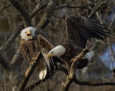 """~~ bald eagles by les zigurski ~~ mad eagle """"Oi watch your wings Phil or you're sleeping in another tree!"""""""