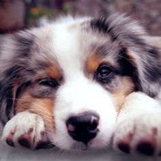 australian shepherd puppy. The prettiest dogs!!