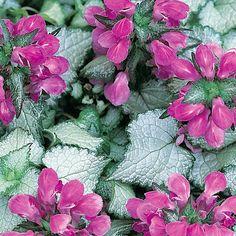 Hopeatäpläpeippi My Flower, Flowers, Annual Plants, Spring, Perennials, Trees, Gardening, Seasons, Tree Structure
