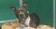 Pit Bull Lost For One Year Reunited With Owner Two Days Before Being Euthanized via LittleThings.com