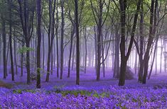 This blog has described cherry blossoms as one of the crowning beauties of spring, but there is a darker and more haunting beauty of the season which might possess equal floral splendor.  Bluebells…