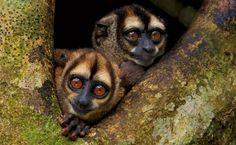 Macacos-da-noite (Aotus vociferans)