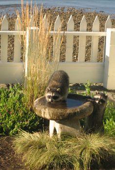 Raccoon shenanigans. Seaside, Owl, Bird, Animals, Animales, Animaux, Beach, Owls, Birds