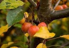 Growing crab apples in your garden from the article The Many Benefits of Growing Crab Apples in your Garden. I have one a John Downey and it is beautiful..