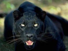 schwarzer-puma