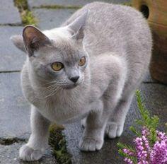 Gato Burmés http://www.mascotadomestica.com/razas-de-gatos/gato-burmes.html