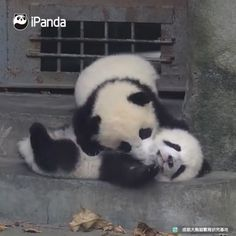 Panda's Babies Are Amazing These little panda babies love to play Baby Panda Bears, Panda Babies, Cute Babies, Baby Pandas, Ty Animals, Cute Funny Animals, Cute Baby Animals, Niedlicher Panda, Cute Panda