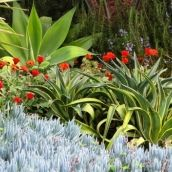 Garden ideas, landscape ideas, Drought Tolerant, Full Sun, Part sun, Mediterranean plants, Water wise garden, Low maintenance garden, Agave ...