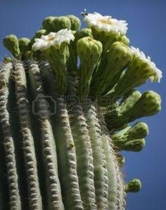 Detalle florecimiento Saguaro, Desierto de Arizona Pictures Of Succulents, Cacti And Succulents, Cactus Planta, Cactus Y Suculentas, Cactus Blossoms, Cactus Flower, How To Grow Cactus, Arizona, Desert Plants