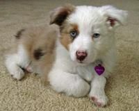 Lottie the Australian Shepherd