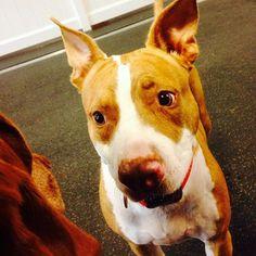 Meet our #newmember Tigress! Sister of Santino  #fitdogsportsclub #pitbull