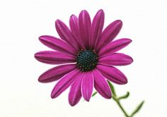 use copon GYKNN at checkoat for special discount Chrysanthemum Flower, Purple, Artwork, Flowers, Plants, Work Of Art, Flora, Royal Icing Flowers, Floral