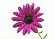 use copon GYKNN at checkoat for special discount Chrysanthemum Flower, Purple, Artwork, Flowers, Plants, Work Of Art, Auguste Rodin Artwork, Florals, Purple Stuff