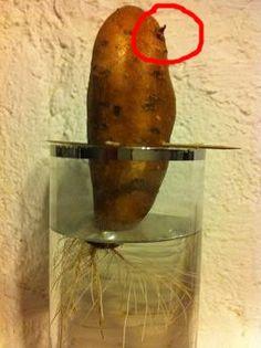 Faire pousser des lentilles dans du coton jardinage coton lentille enfant noel caboucadin - Faire pousser des endives ...