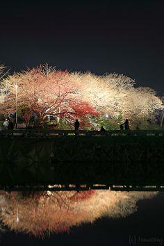 Sakura Festival at Fukuoka, Maizuru Park, Japan
